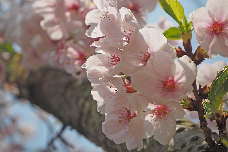多度津山 桜 花見
