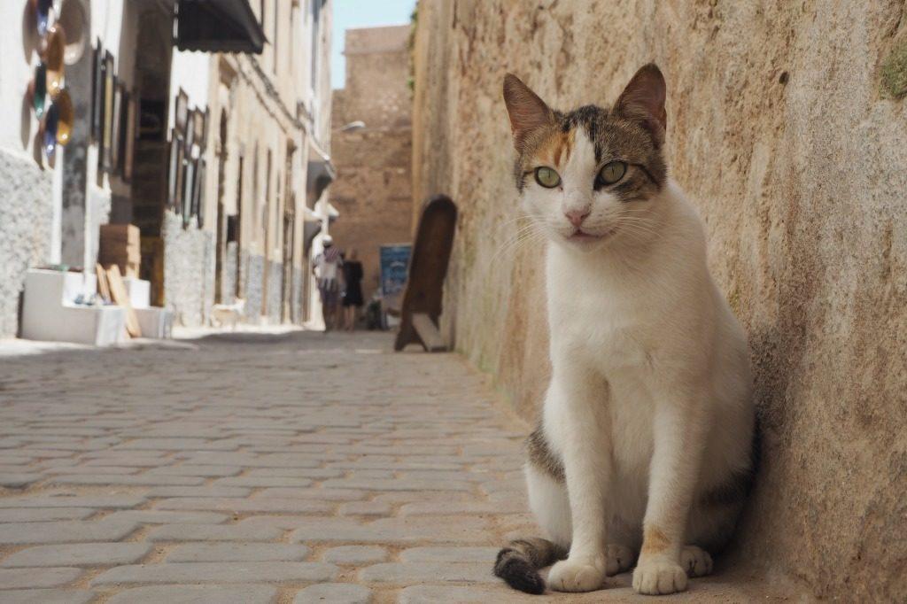 モロッコ・エッサウィラの猫